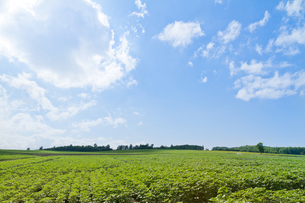北海道の青空と広大な畑の写真素材 [FYI00124878]