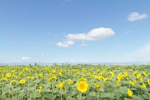 ヒマワリ畑と青い空の写真素材 [FYI00124881]