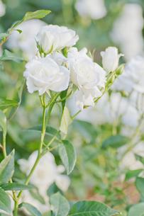 白いバラの写真素材 [FYI00124886]