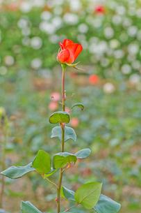 赤いバラ一輪の写真素材 [FYI00124887]