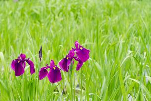 菖蒲の花の写真素材 [FYI00124908]
