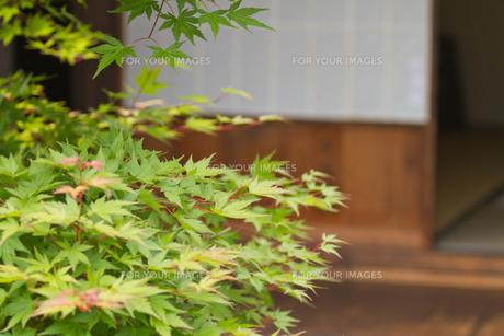 縁側の青もみじの写真素材 [FYI00124913]