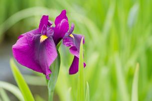 菖蒲の花アップの写真素材 [FYI00124922]