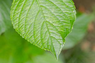 アジサイの葉の写真素材 [FYI00124950]