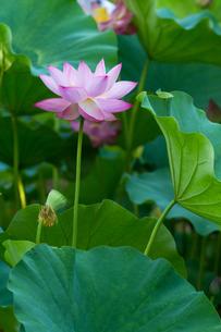 蓮の花と葉の写真素材 [FYI00124979]