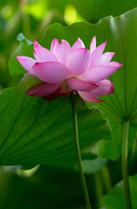 ハスの花の写真素材 [FYI00124991]