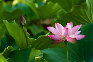 光り射す蓮の花の写真素材 [FYI00124995]