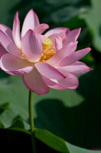 蓮の花傾くの写真素材 [FYI00124996]
