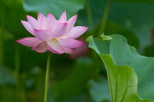 蓮の花と葉アップの写真素材 [FYI00125000]