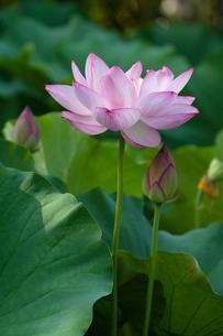蓮の花の朝の写真素材 [FYI00125008]