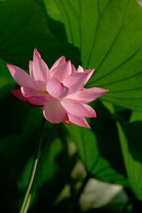 蓮の花の写真素材 [FYI00125021]