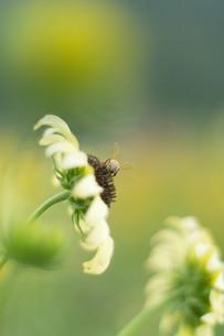 白いひまわりに蜂の写真素材 [FYI00125080]