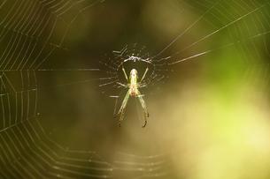 ジョロウグモと巣の写真素材 [FYI00125195]