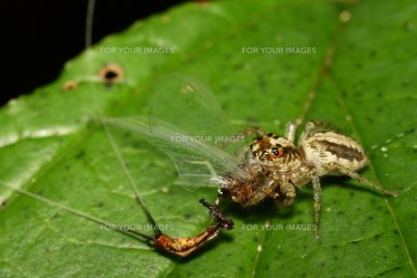 ハエトリグモの捕食の写真素材 [FYI00125196]