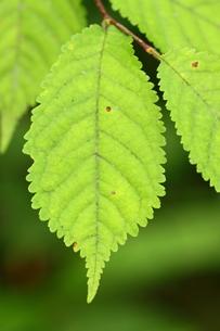 オオチョウジザクラの葉の写真素材 [FYI00125206]