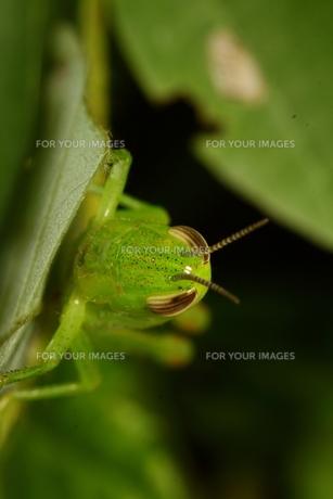 イナゴの顔の写真素材 [FYI00125217]