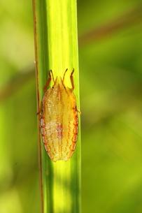 カメムシの幼虫の写真素材 [FYI00125221]