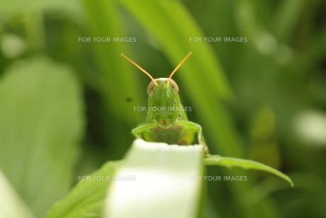 イナゴの顔の写真素材 [FYI00125239]