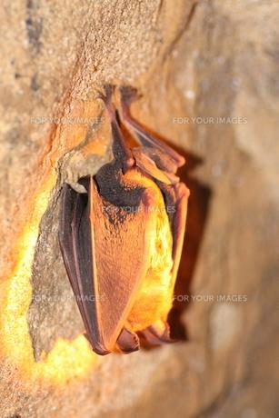 冬眠中のコキクガシラコウモリの写真素材 [FYI00125248]