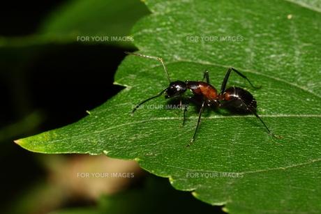 ムネアカオオアリの写真素材 [FYI00125249]