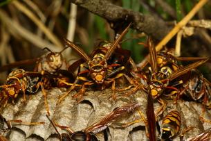 アシナガバチの巣の写真素材 [FYI00125258]