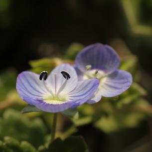 オオイヌノフグリ・春の野・春植物の写真素材 [FYI00125270]