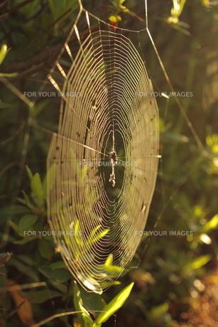 朝日に輝く蜘蛛の巣の写真素材 [FYI00125354]