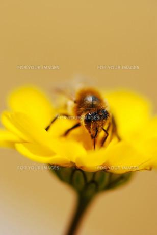 ミツバチの素材 [FYI00125571]