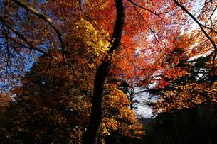 吉野山の紅葉の素材 [FYI00125624]