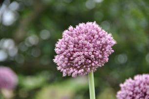 紫のネギぼうずの写真素材 [FYI00125630]