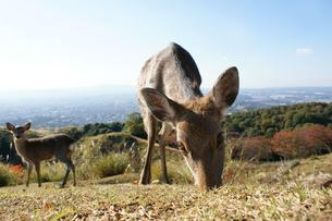 若草山の鹿_03の写真素材 [FYI00125658]
