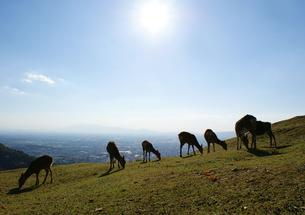 若草山の鹿_02の写真素材 [FYI00125671]