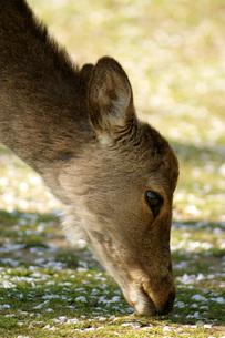 鹿とサクラの写真素材 [FYI00125727]