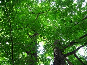 銀杏の並木の写真素材 [FYI00125841]
