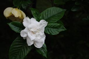 くちなしの花の写真素材 [FYI00125851]