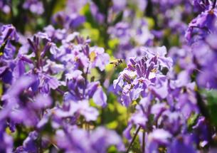 紫の花とミツバチの写真素材 [FYI00126131]