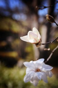 木蓮のつぼみの写真素材 [FYI00126135]