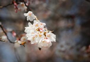 桜と蜂の写真素材 [FYI00126137]