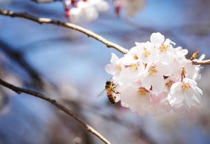 桜とミツバチの写真素材 [FYI00126139]