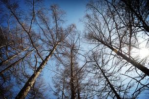 見上げた木立と太陽の写真素材 [FYI00126143]
