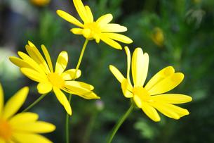 黄色い花の写真素材 [FYI00126154]