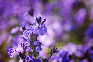 紫の花の写真素材 [FYI00126156]
