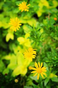 黄色い花の写真素材 [FYI00126173]