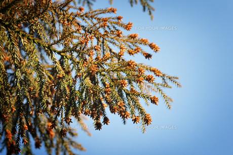 杉花粉の写真素材 [FYI00126177]