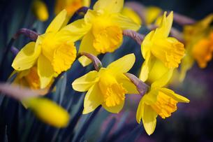 黄色い水仙の写真素材 [FYI00126186]