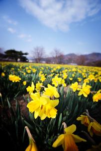 青空と黄色い水仙畑の写真素材 [FYI00126208]