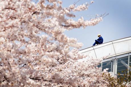 桜と作業員の写真素材 [FYI00126213]
