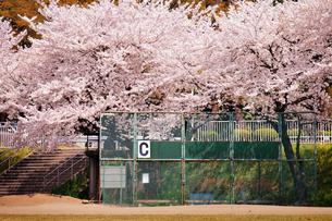 野球場と桜の素材 [FYI00126221]