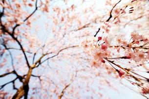 しだれ桜の写真素材 [FYI00126229]