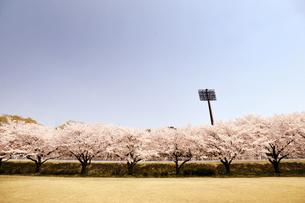 桜と野球場の写真素材 [FYI00126231]
